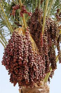 Финиковая пальма (фото)