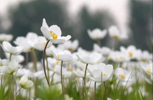Белые цветы к чему снится