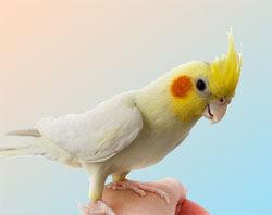 фото корелл попугаев